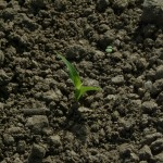 First Corn Sprouting Up