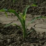 Slightly Larger Corn Stalk