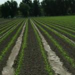 Corn Rows Growing