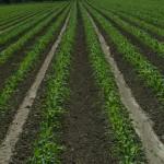 Corn Rows Growing Taller