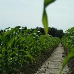 Larger Corn Stalks